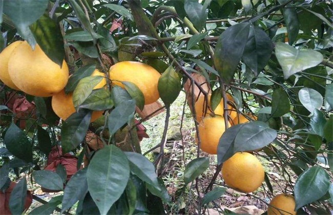 木瓜树冬季如何防冻害