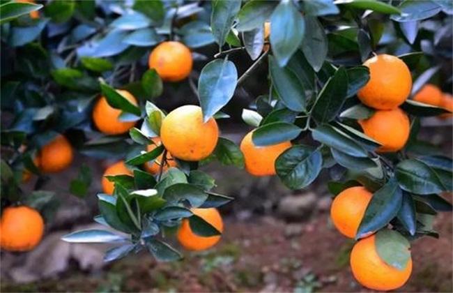 柑橘采收注意事项