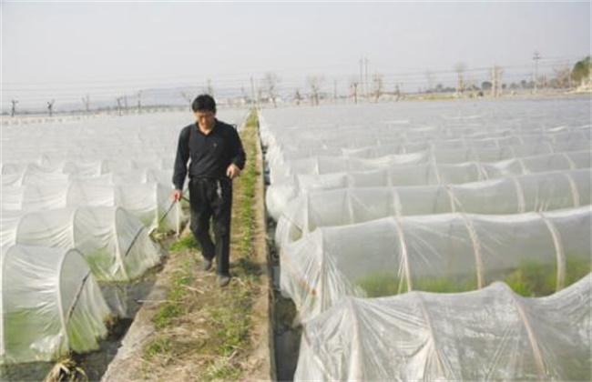 大棚栽培茭白注意事项