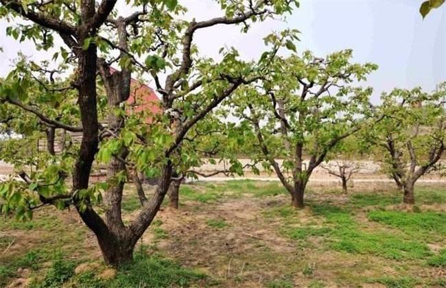 梨树大小年原因及防治方法