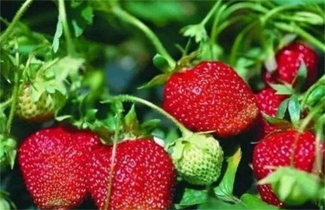 影响草莓果实膨大的五大因素