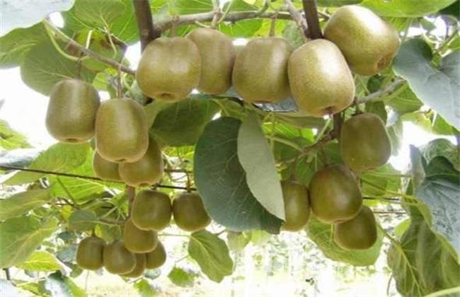 猕猴桃大小年防治措施