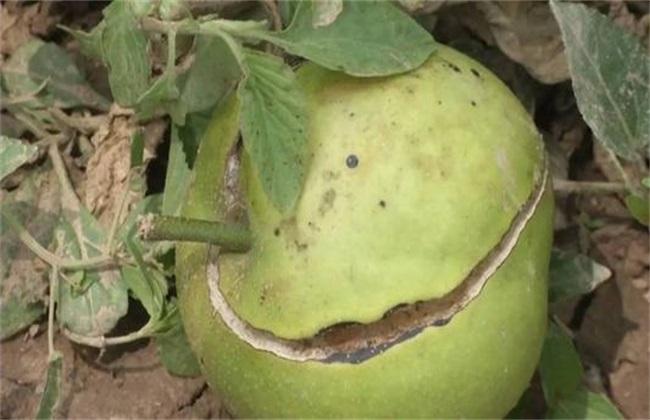 梨树裂果是什么原因