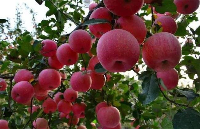 苹果大小年的原因防治措施