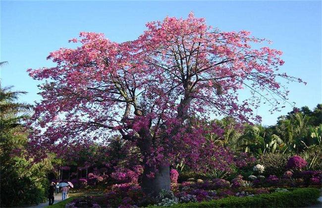 紫荆花和异木棉的区别