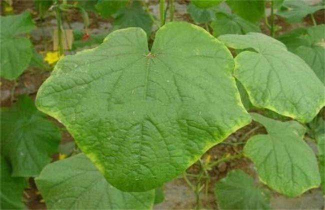 黄瓜缺钙原因及补钙要点