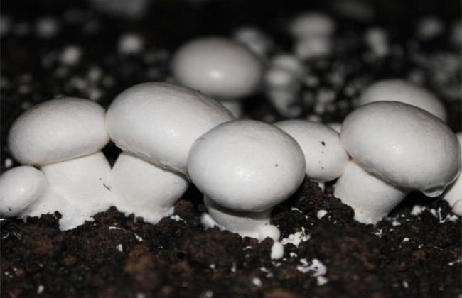 双孢菇出菇期的管理要点
