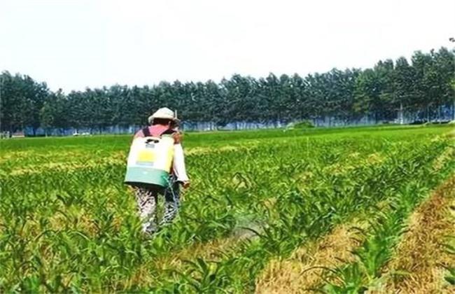 玉米除草 注意事项