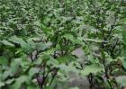 茄子苗期管理技术