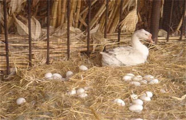 提高鹅产蛋率的补料方法
