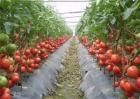 番茄套种豆角种植技术