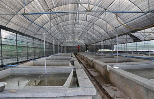 大棚泥鳅养殖方法和注意事项