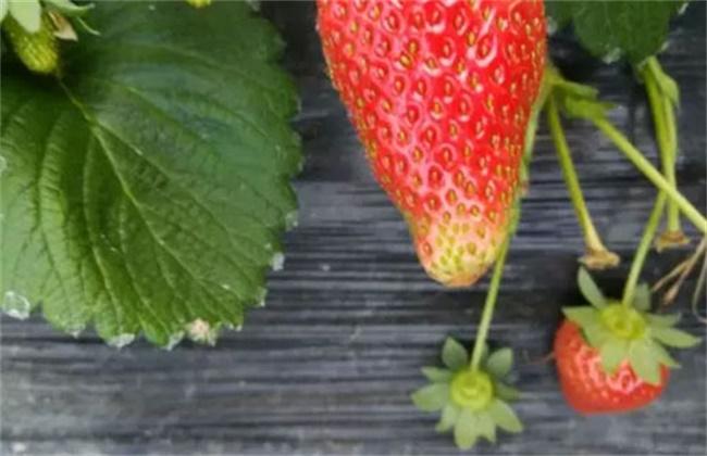 草莓着色不良原因及解决方法