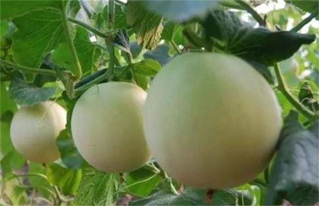 高温天气 防止 甜瓜裂瓜