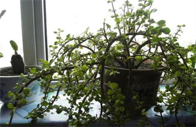金枝玉叶春季养护要点