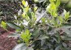 柑橘幼树什么时候摘心