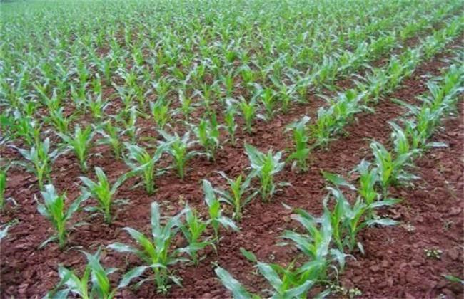 玉米间苗定苗注意事项
