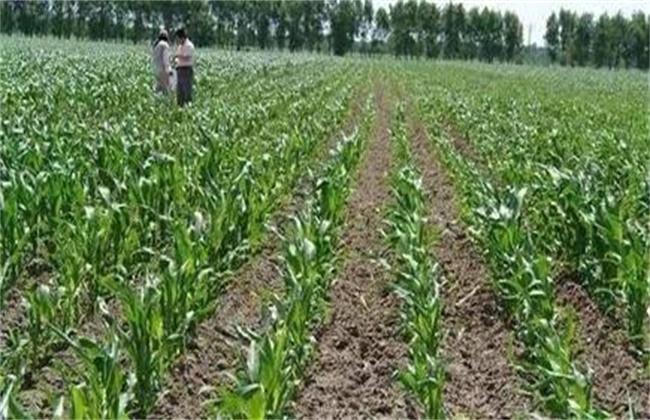 玉米蹲苗方法和注意事项