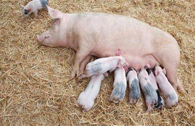 母猪消瘦综合症的防治方法