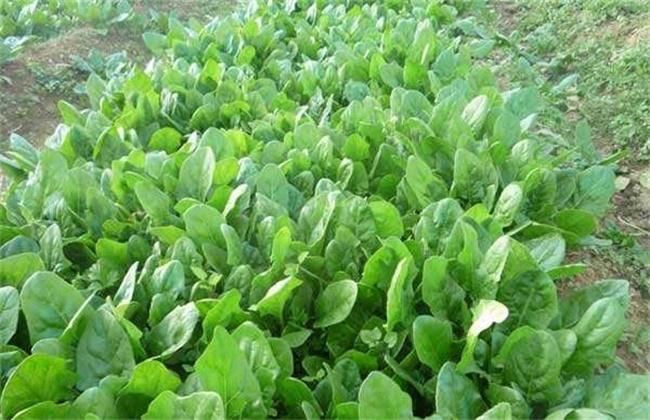 春季该如何种植好菠菜