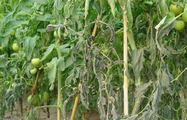 蔬菜倒春寒的防治措施