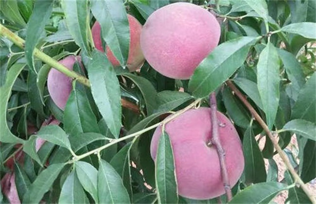 桃树果实膨大期管理要点