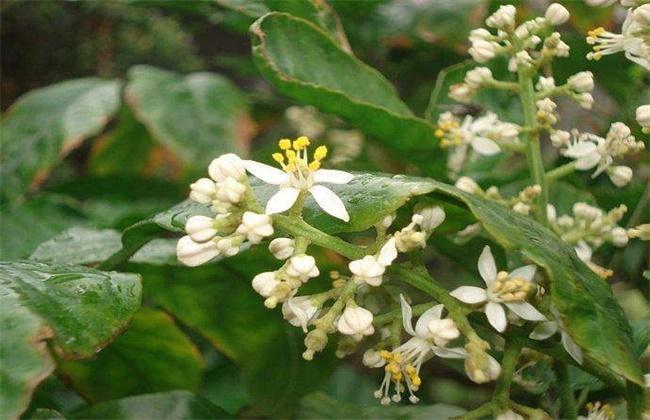 如何促进黄皮花芽分化
