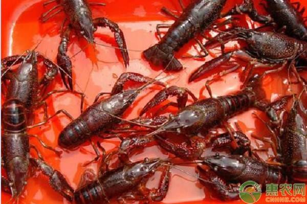 今年三月小龙虾价格及行情简介