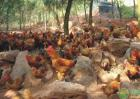 为何鸡、鸭、鹅不可以混养?要不然非常容易生病?这就是