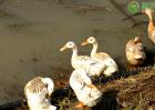 2020年肉鸭价格多少钱一斤?肉鸭养殖赚钱吗?