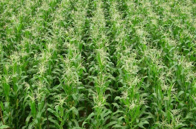 玉米高产栽培技术