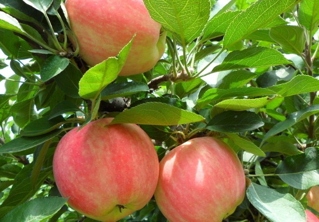 苹果树病害防治方法
