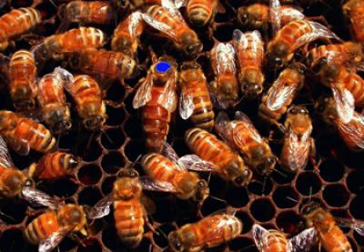 被蜜蜂蛰了怎么处理?