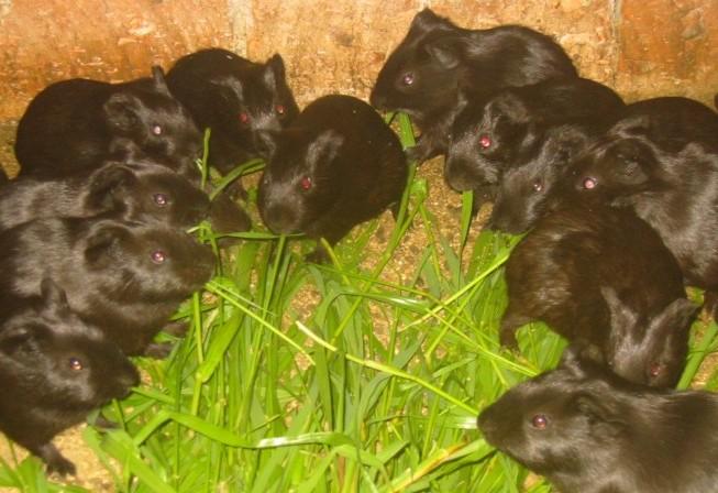 黑豚养殖过程中豚虱的预防和治疗