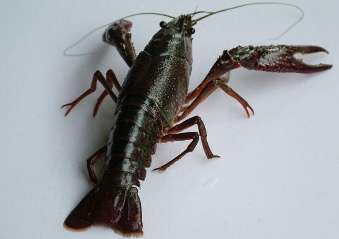 小龙虾的饲喂技术