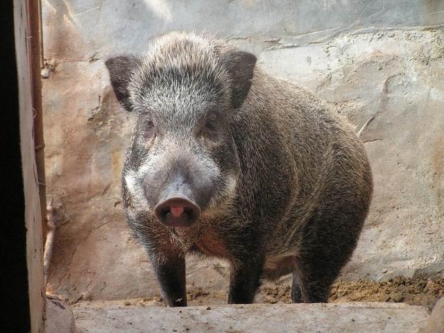 野猪养殖过程中驯化技术