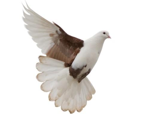 鸽子养殖的日常管理技术