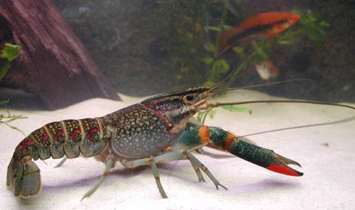 龙虾的养殖技术