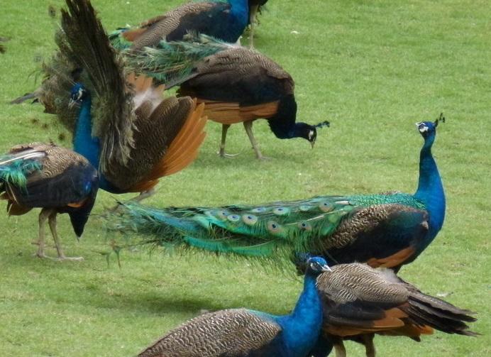 孔雀养殖怎么消毒