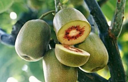 猕猴桃树嫁接技术