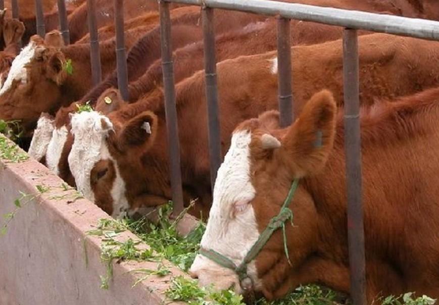 牛健康养殖的基本要点