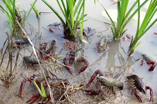 龙虾养殖中亲虾的选择技术