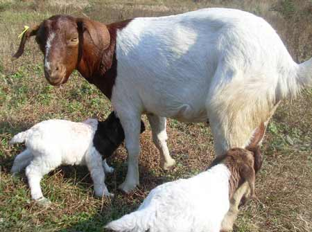 羊快疫的防治方法