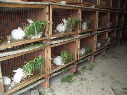 兔子养殖饲喂注意事项