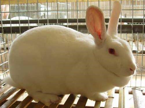 獭兔蛲虫病的防治方法