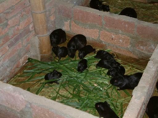 黑豚的养殖方式