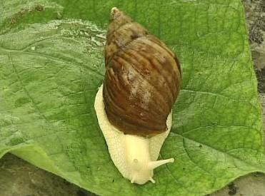 白玉蜗牛种的选择标准