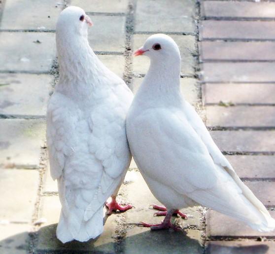 鸽子的生理习性