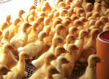 如何提高雏鸭成活率?