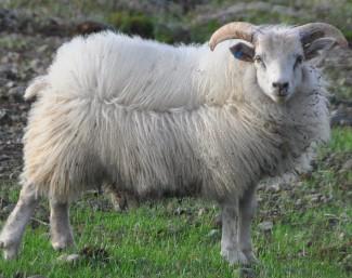 羊养殖的饮水技术